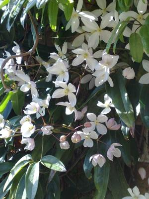 Blooming gardens blooming lovely plants bristol avon cmandii magnolia felco mightylinksfo Choice Image